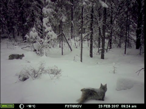 Animals at a seismic station in Minto Flats, Alaska (winter 2016-2017)