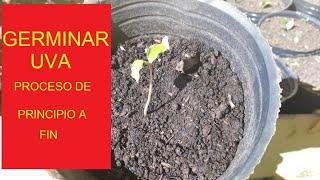 Como germinar semilla de Uva | Agricultura