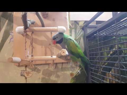 Видео: Попугай Болтик влез на крошечную жердочку для ожереликов