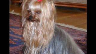 Yorkshire Terrier Get A Free Book