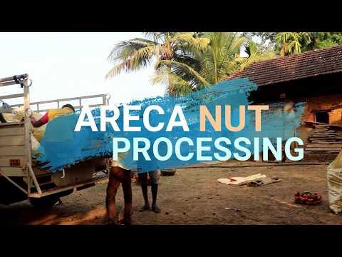 Areca Nut Harvesting | Part - 2 | Areca Nut Processing