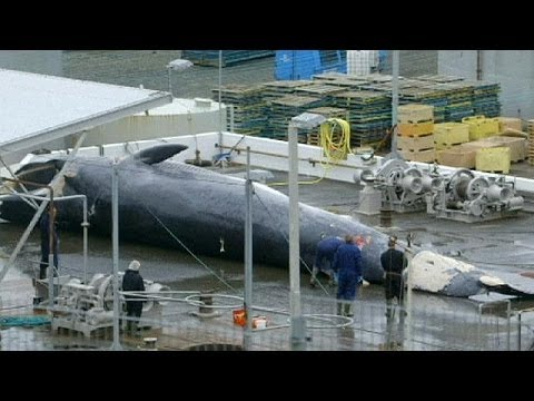 Whaling in Iceland continues despite international ban - no comment