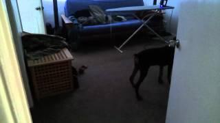 Tango Running Room To Room (doberman Pinscher)