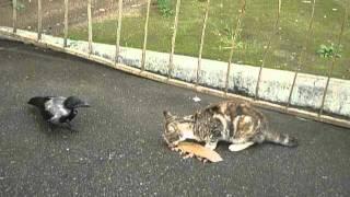 Кот гоняет ворону