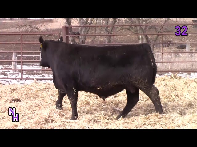 New Haven Angus Lot 32