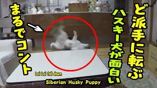 ペットボトルを踏んずけて派手に転ぶハスキー犬がおもしろい Husky Puppy thumbnail