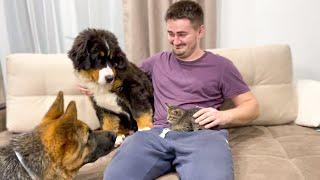 Bernese Mountain Dog and German Shepherd puppies meet new baby Kitten!
