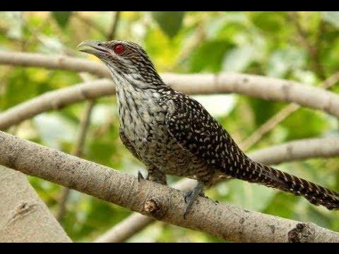 Burung Tuwu Burung Penuh Mitos dan Berharga Tinggi