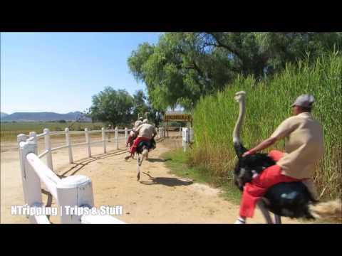 Ostrich Racing near Oudtshoorn, Klein Karoo, South Africa