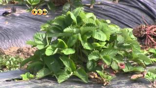 видео Пленка для посадки клубники: какую и как выбрать