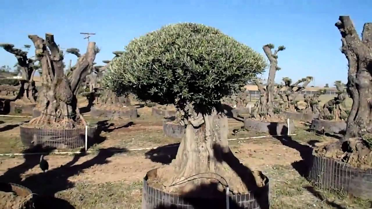 Video Tour Of The California Sculpted Olive Tree Nursery