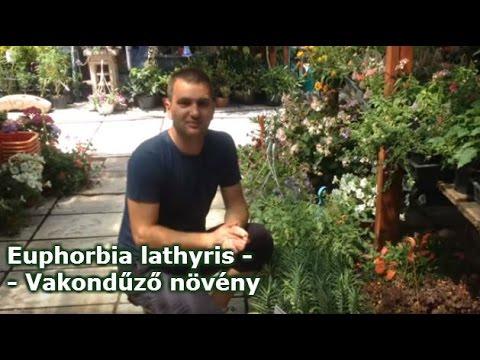 Euphorbia lathyris  - Vakondűző növény