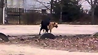 Собаки занимаются любовью