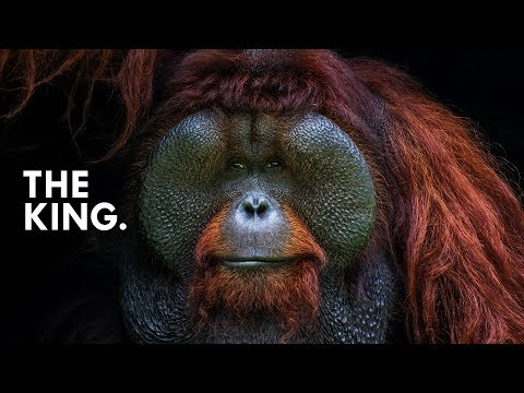 Orangutan: King of the Treetops