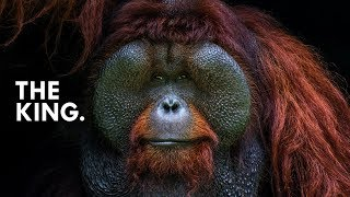 Orangutan: King of the Treetops