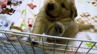 生まれて28日目のゴールデンレトリバーの子犬。 友達のゴールデンレトリ...