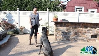 Cane Corso, Useful Obedience And Dietary Tips, K9 Control Tv
