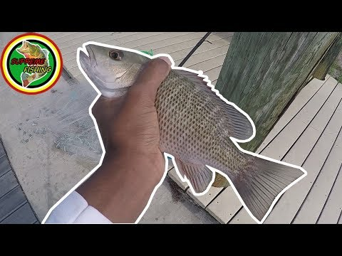 Fishing For Mangrove Snappers With Live Bait Under Docks!