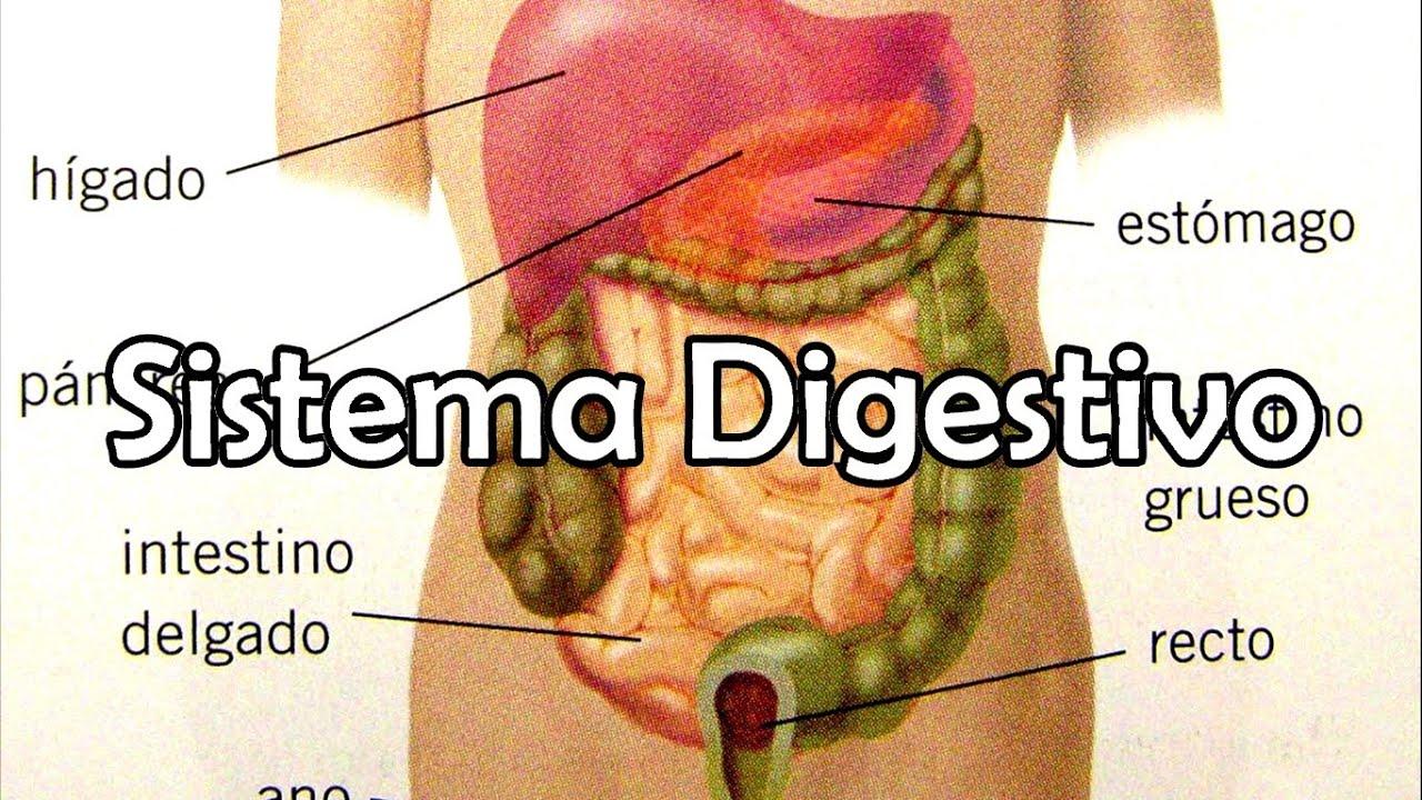 El Sistema Digestivo Nueva Versión Youtube