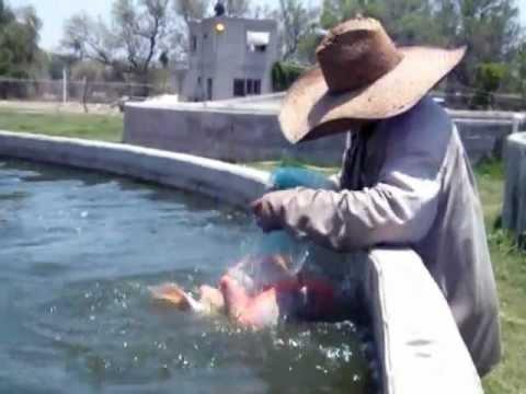Cr a intensiva de tilapias en cuba doovi for Cria de mojarra roja en estanques
