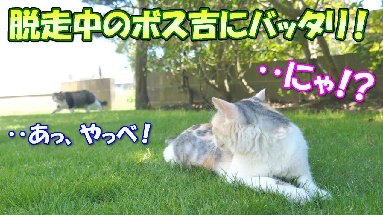 庭でネコ吉と遊んでいたら、脱走中のボス吉とバッタリ遭遇しました!