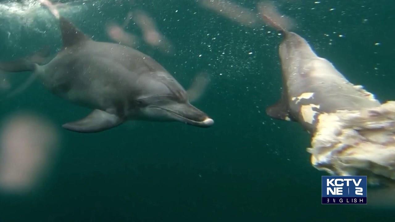 200629 KCTV Jeju English News - Bottlenose Dolphin Calf Found Dead