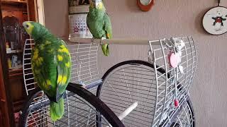 Попугаи амазоны в нашем доме.  Попугай амазон  говорит