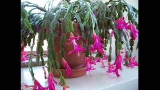 How to tell the difference between a Christmas Cactus & ...