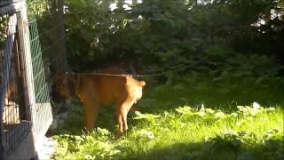 щенок боксера Никинк Вар Хард Чейз, 3 мес