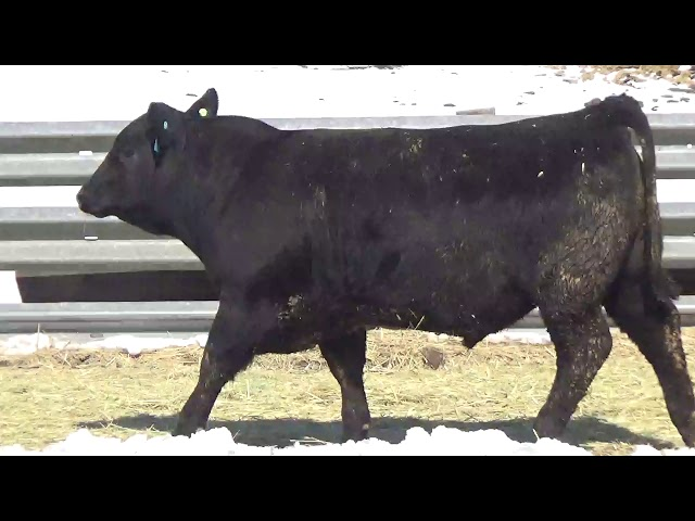 Connealy Angus Lot 411