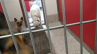 Pima Animal Care Center 8-21-18 Doggie Adoptable-Paloma, Checker And Patches Pod 1 Kennel D11