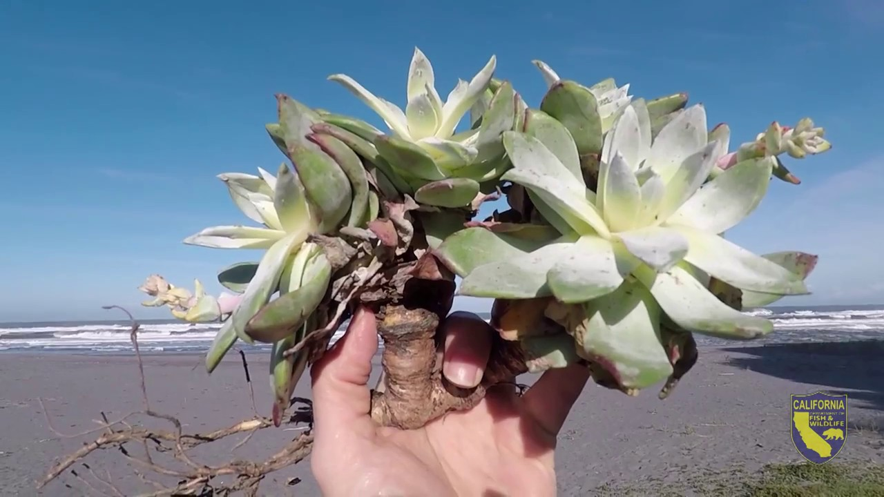 Dudleya Farinosa Replanting Effort