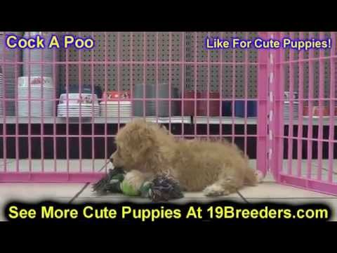 Cock A Poo, Puppies For Sale, In Winston-Salem, County, North Carolina, NC, 19Breeders, Fayetteville