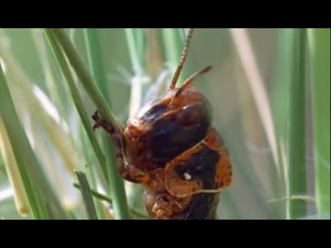 Plagues of Locusts - Wild Africa - BBC