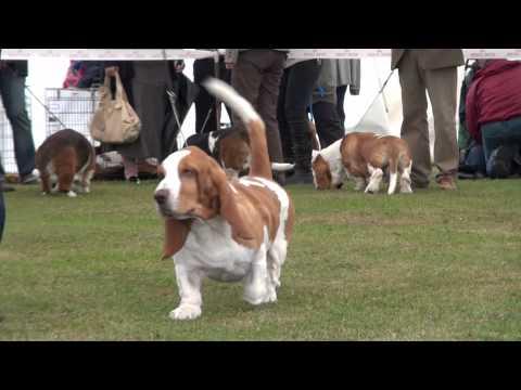 Class 8 Limit dog-The Basset Hound  Club CC Show 2011.wmv