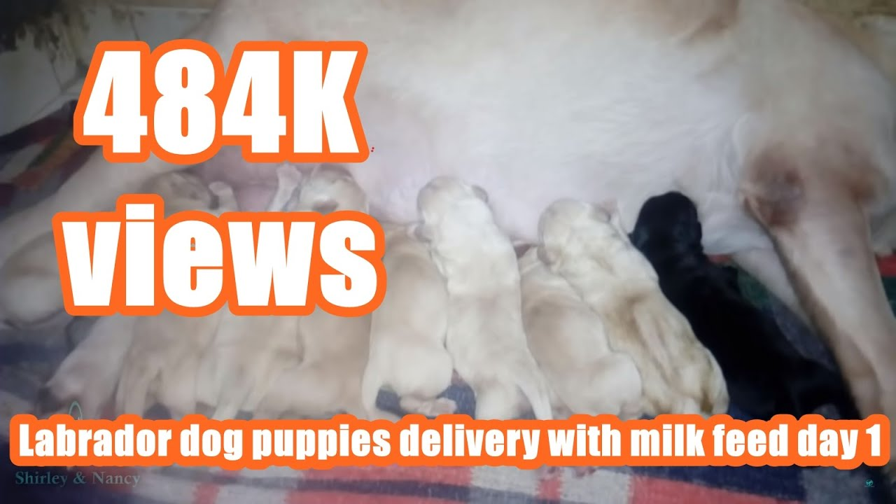 Labrador Dog Puppies Delivery With Milk Feed Day 1 Youtube