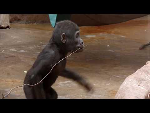 Baby gorilla Ajabu in Prague Zoo, december 2017, part 1