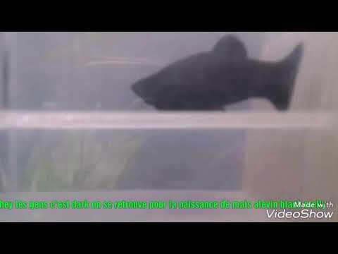 Naissance de mais poisson