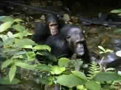 Complex mating rituals of chimpanzees in the jungle  - BBC wildlife