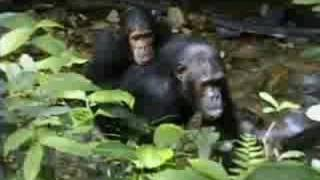 Complex Mating Rituals of Chimpanzees in the Jungle | BBC Stud…