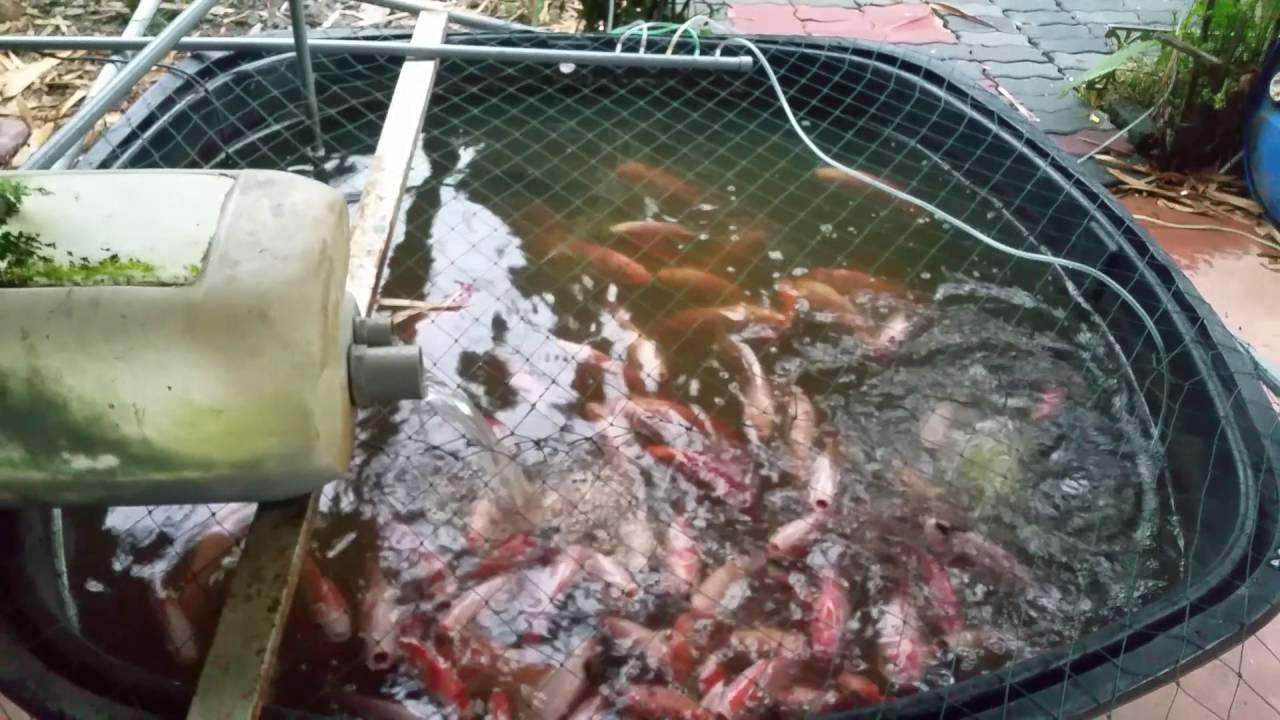 Ikan tilapia merah tangki - YouTube