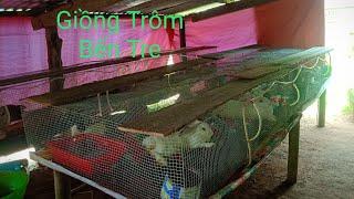 Mô hình nuôi thỏ đơn giản ở giồng trôm Bến Tre