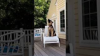 German Shepard Dog howling at fire truck siren // GSD
