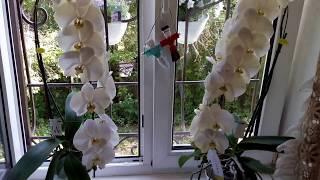 Орхидеи Сого Юкидан - уход. Кампанула-жених и невеста 29.05.17