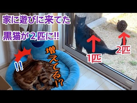 ベンガル猫の家に遊びに来ていた黒猫が2匹に増えました