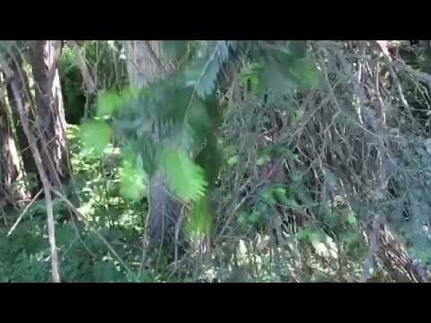 Grand Fir Abies Grandis Tips For Identification Youtube
