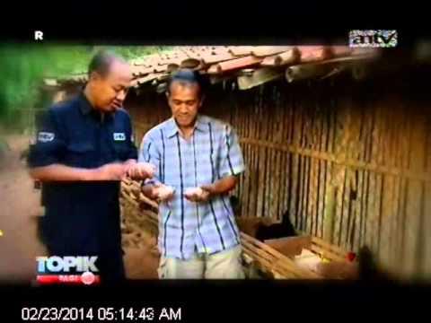 [ANTV] TOPIK Ayam Bertelur 2 Kali Lebih Banyak