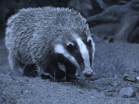 Animal Anecdotes: European Badger