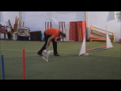 chinese crested dog - super agility puppy