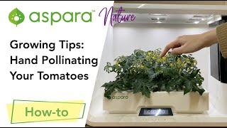 Growing Tips: Hand pollinating your tomatoes